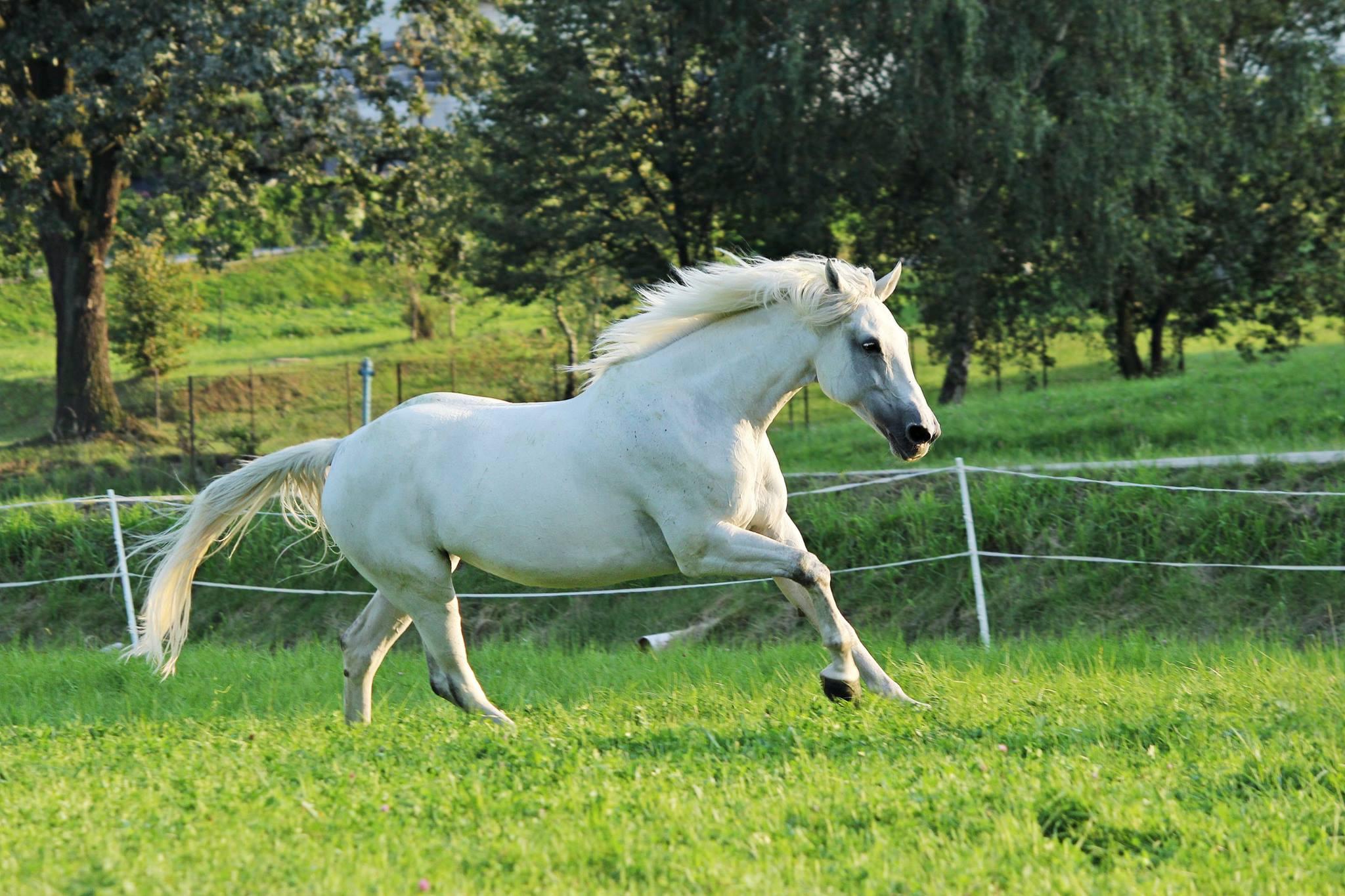 Koń umyty suchym szamponem dla koni Lincoln