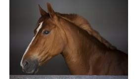 Znakowanie koni