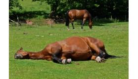 Wrzody żołądka u koni