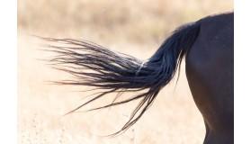 Wycieranie ogona u koni